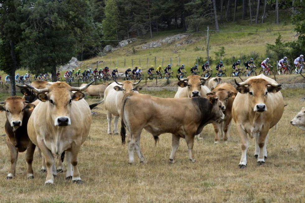 Estas simpáticas vacas no tuvieron reparos en 'posar' para la cámara al paso de la carrera.