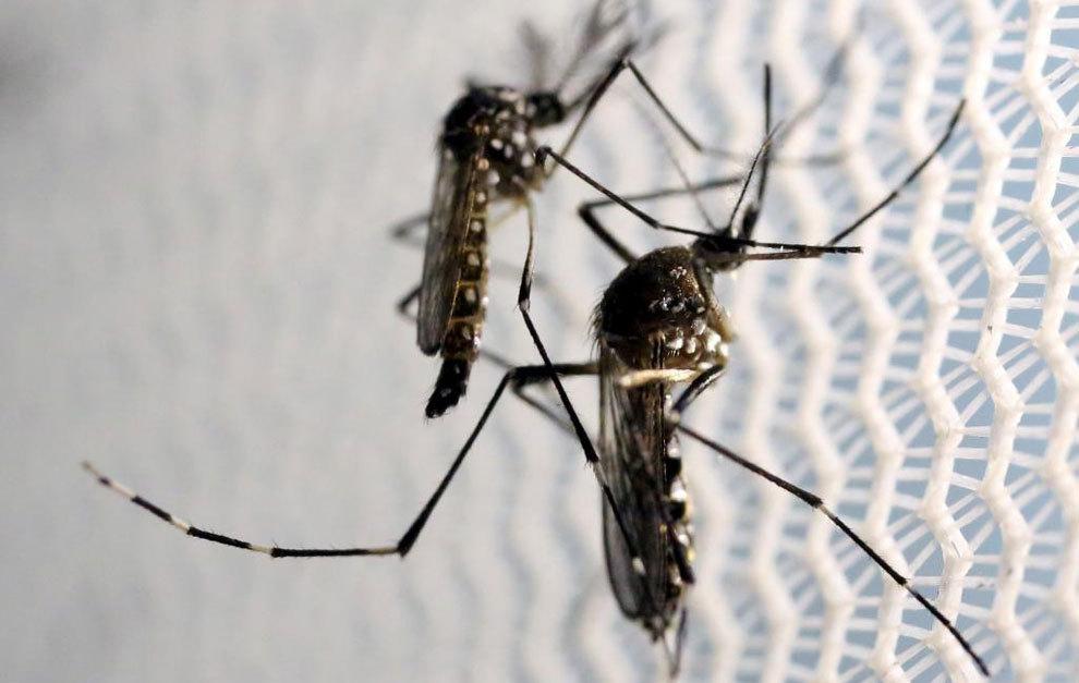 El Aedes aegypti, el mosquito que transmite el zika