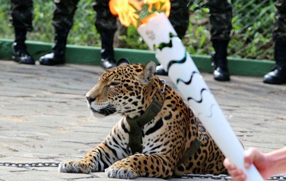 El jaguar 'Juma', durante la ceremonia del paso de la antorcha por...