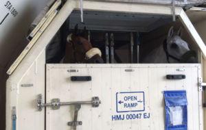 'Hito', el caballo de Albert Hermoso para el concurso...