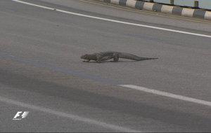 Un varano acu�tico cruza la pista de Marina Bay durante los �ltimos...