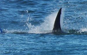 Un tiburón, en una playa de Australia durante una prueba de surf.