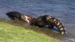 Dos caimanes en plena lucha en un campo de golf de Estados Unidos.