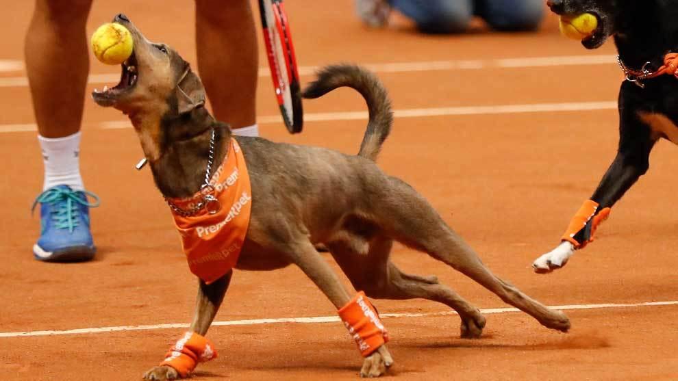 Seis perros cambiaron el albergue por las pistas de tenis en el...