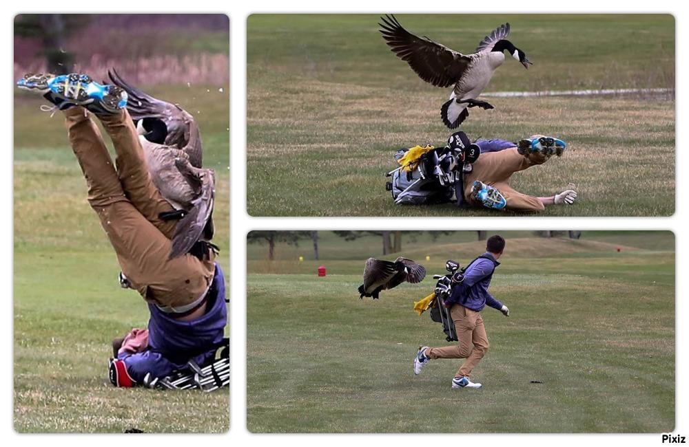 Un ganso ataca a un joven jugador de golf de un High School