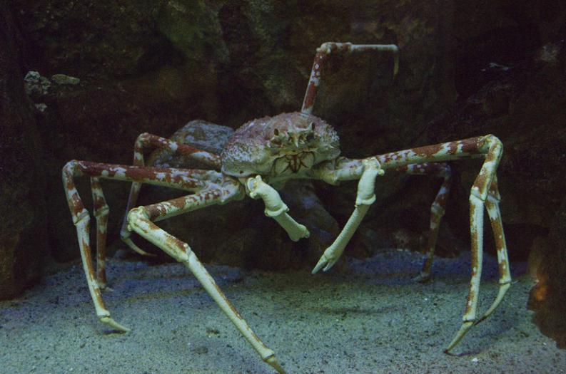 Cangrejo gigante japonés. Su peso supera los 20 kg y sus patas pueden...