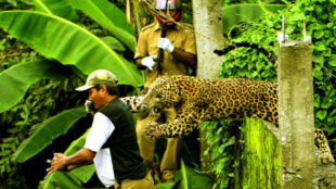 An escaped leopard killed a man in India as they searched for it in a...