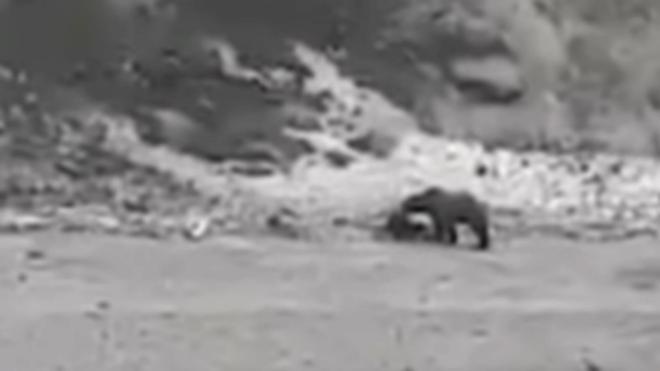 Lo graban siendo perseguido por oso antes de morir ahogado