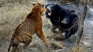 Tiger vs beard