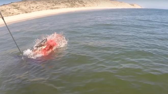 Graban el espectacular ataque de un tiburón blanco a una foca cerca de una playa