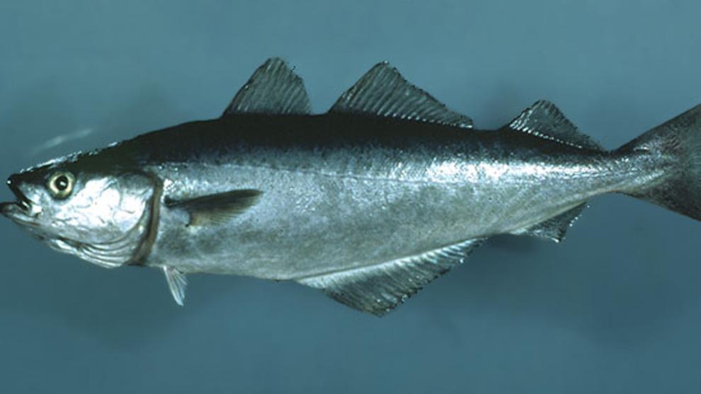 Blancos azules y pescados clasificacion de