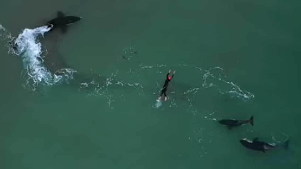 Tres orcas rodean a una nadadora y pasa esto — Increíble