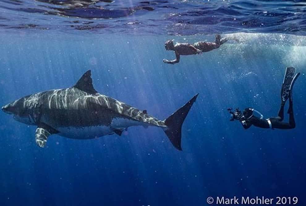 'Deep Blue', el tiburón blanco más grande jamás filmado,...