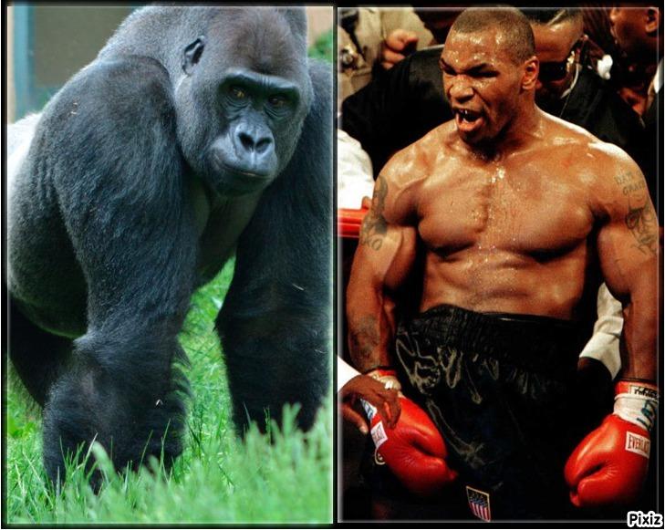 Un gorila de espalda plateada y Mike Tyson