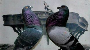 Dos palomas deportivas