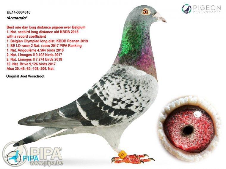 Armando, la paloma mensajera más cara de la historia: 1,42 millones...