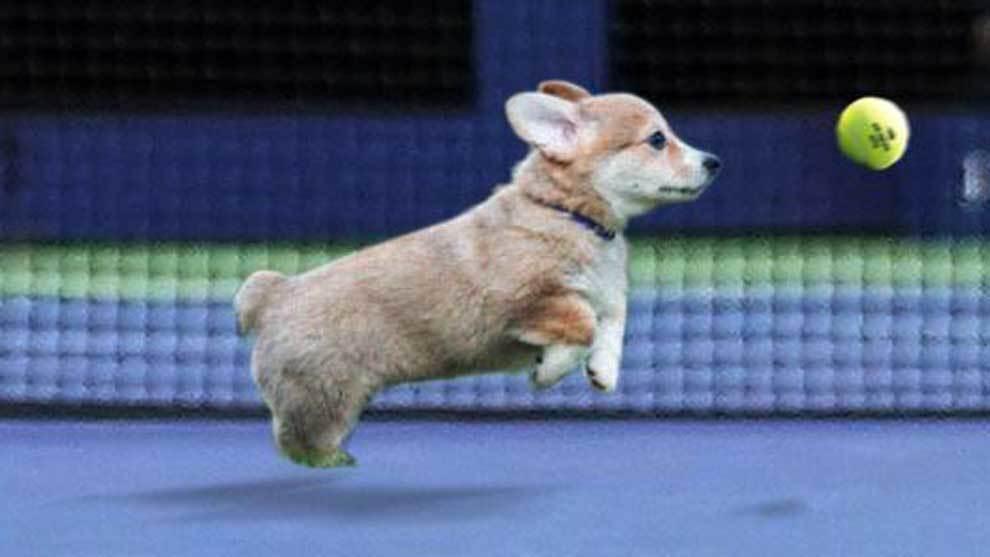 Un cachorro de perro recogepelotas en el US Open de tenis