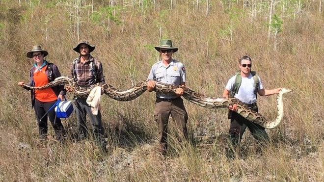 Capturan una pitón de 5,2 metros en Florida, Miami