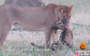 La leona con el perro hierna entre sus fauces