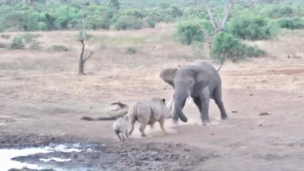 El elefante embistió al rinoceronte y a su cría junto a una charca...