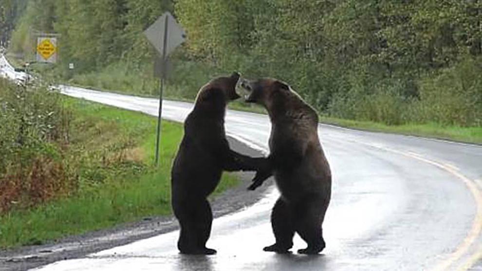 La lucha entre los dos osos grizzly se hizo viral en pocos días