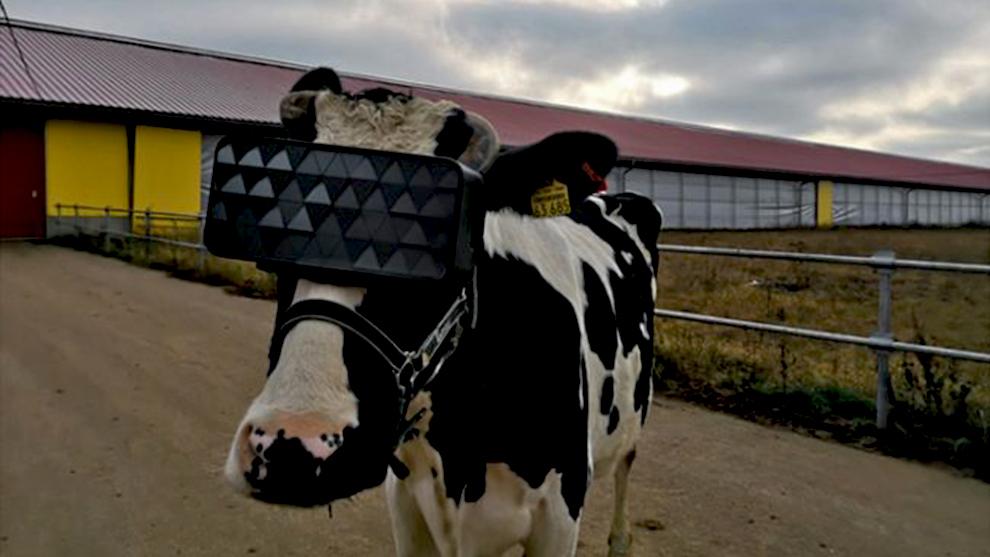 Vacas con gafas de realidad virtual para mejorar la producción de...