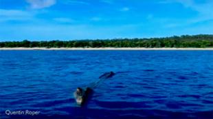 El cocodrilo de agua salada en las imágenes tomadas por Quentin Roper