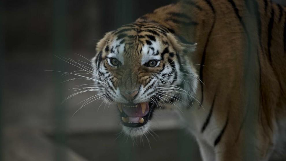 Imagen de un tigre de bengala.