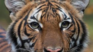 Imagen de una Tigresa.