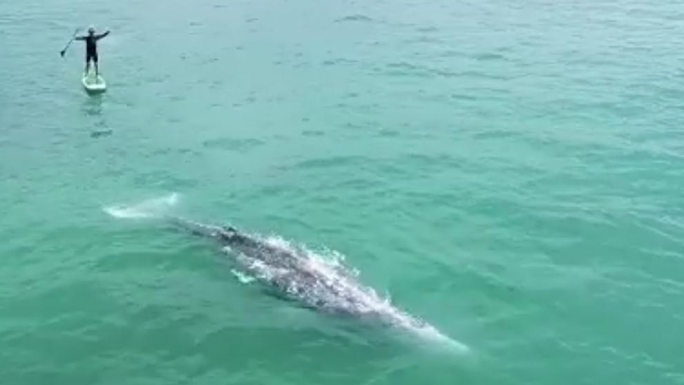 Una ballena gris nadando junto a un paddleboarder en Capistrano Beach...
