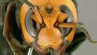 Avispa asiática asesina: la nueva ameneza que nos llega