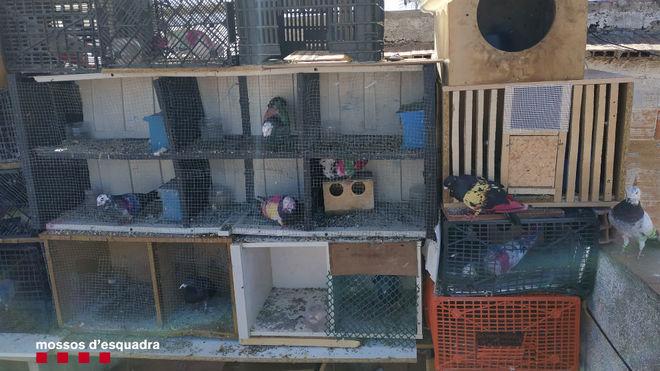 El palomar ilegal donde estaban las palomas.