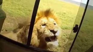 Un turista saca el brazo por la ventana para tocar a un león: un vídeo con final terrorífico
