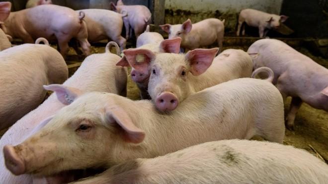 Nueva gripe cerdos china G4 EA H1N