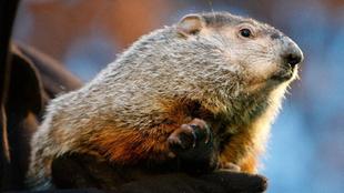 La enfermedad se contrae por el consumo de carne de marmota.
