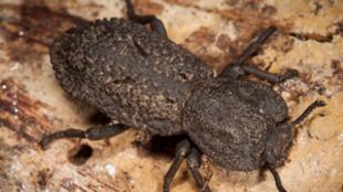 Phloeodes diabolicus, el escarabajo diabólico acorazado que no se...