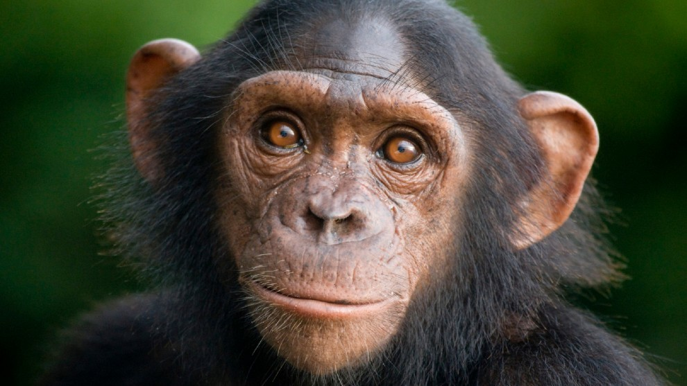 A chimpanzee goes viral after sweeping clean his cage in an Estonian zoo