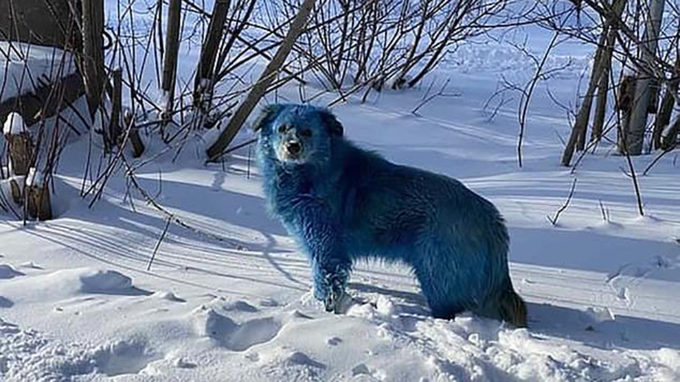 Blue dogs found in Russia: Abandoned factory may be the cause