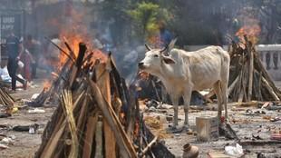 Vaca en un crematorio para víctimas del coronavirus en India