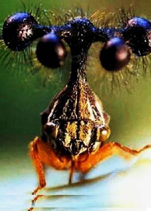 El peculiar aspecto del saltamontes brasileño: un 'alien' en el planeta Tierra