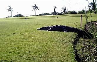 Un cocodrilo en un campo de golf de Cancún.