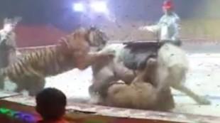 El escalofriante vídeo de un tigre y un león atacando a un caballo en un circo