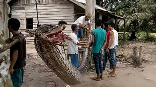 Los ataques de serpientes más salvajes que verás jamás